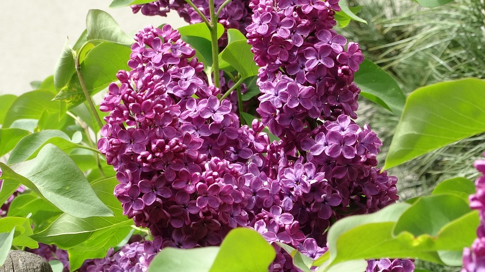 lilac-773362_960_720