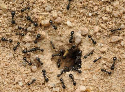 black-ants