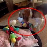 Guilty-dog-apologizes-baby-for-stealing-her-toy