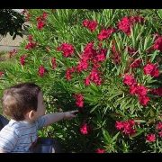 beware-poisonous-oleander-plant-toxic-flower-youtube-oleander-poison