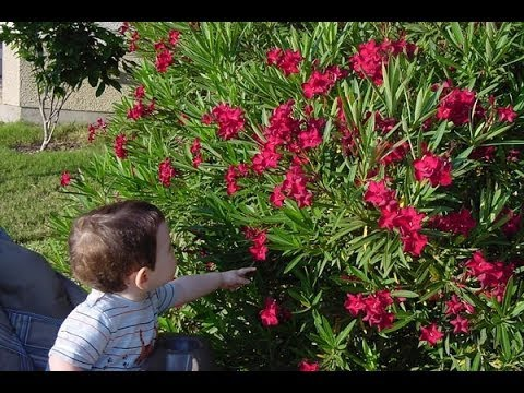 beware-poisonous-oleander-plant-toxic-flower-youtube-oleander-poison