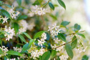 γιασεμί-μυρωδικά-φυτά