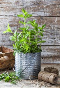 μέντα-μυρωδικά-φυτά